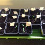 Grddar som växer i förplanteringskrukor