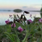 närbild på blommor med sjö i bakgrund